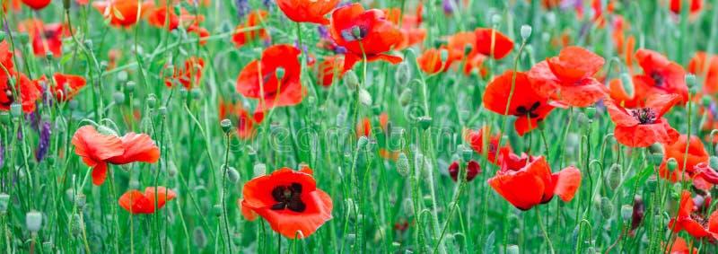 Het gebied van de Webbanner van papaverbloemen, de aard van de de achtergrond lentezomer concept Inspirational en ontspannende ac royalty-vrije stock afbeeldingen