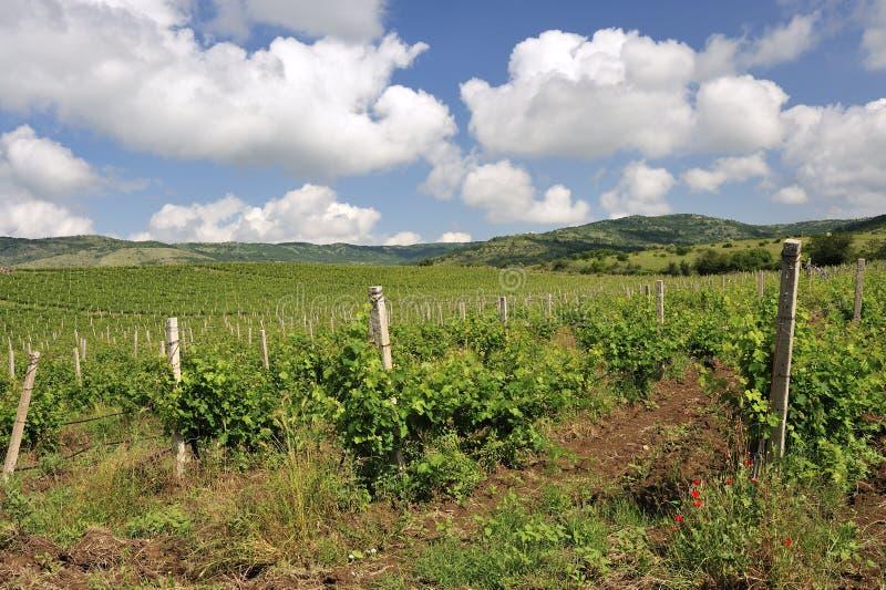 Het gebied van de wijngaard stock foto's