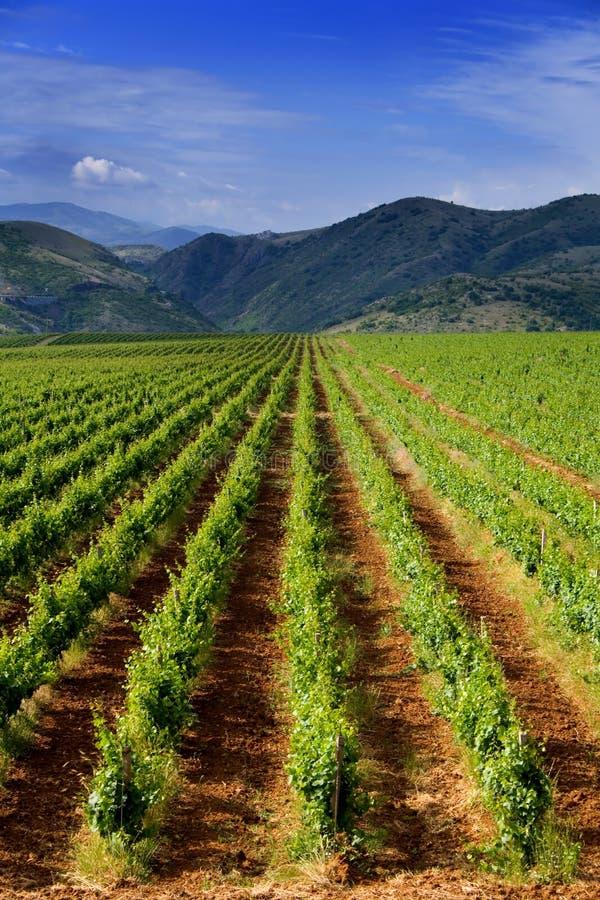 Het gebied van de wijngaard stock afbeelding