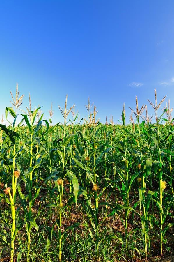Het gebied van de zoete maïs royalty-vrije stock afbeelding