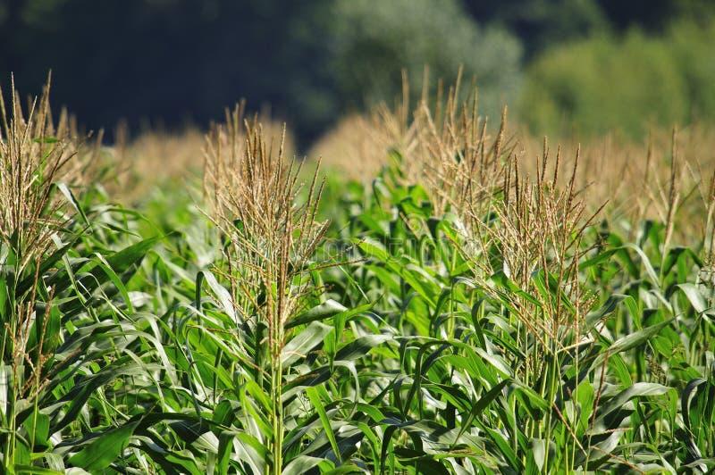 Het gebied van de zoete maïs royalty-vrije stock fotografie