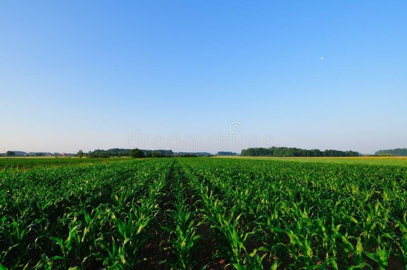 Het gebied van de zoete maïs royalty-vrije stock afbeeldingen