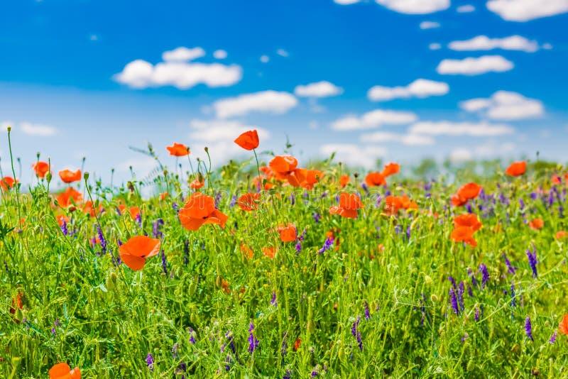 Het gebied van de de zomerpapaver onder blauwe hemel en wolken De mooie weide van de de zomeraard en bloemenachtergrond royalty-vrije stock foto