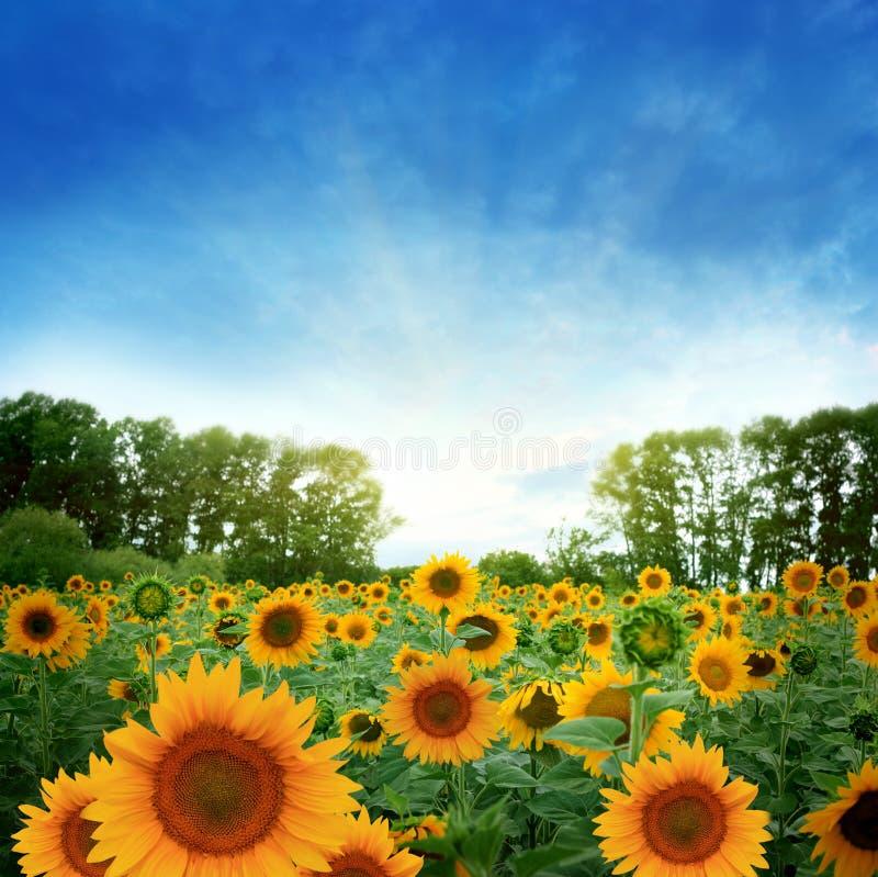Het gebied van de zonnebloem stock afbeelding