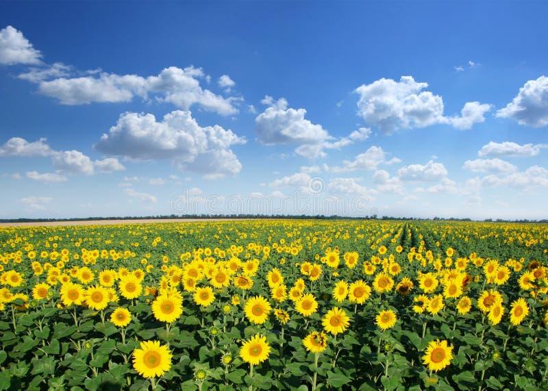 Het gebied van de zonnebloem. stock afbeeldingen