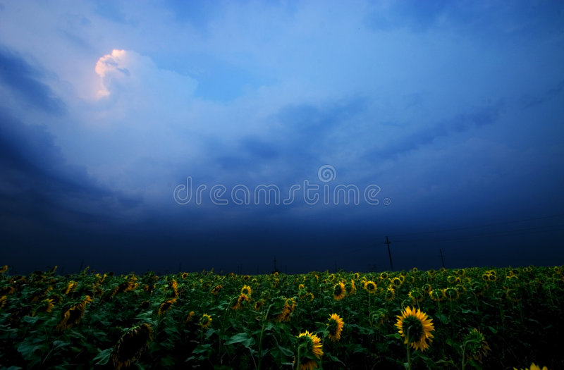 Het gebied van de zonnebloem stock foto's
