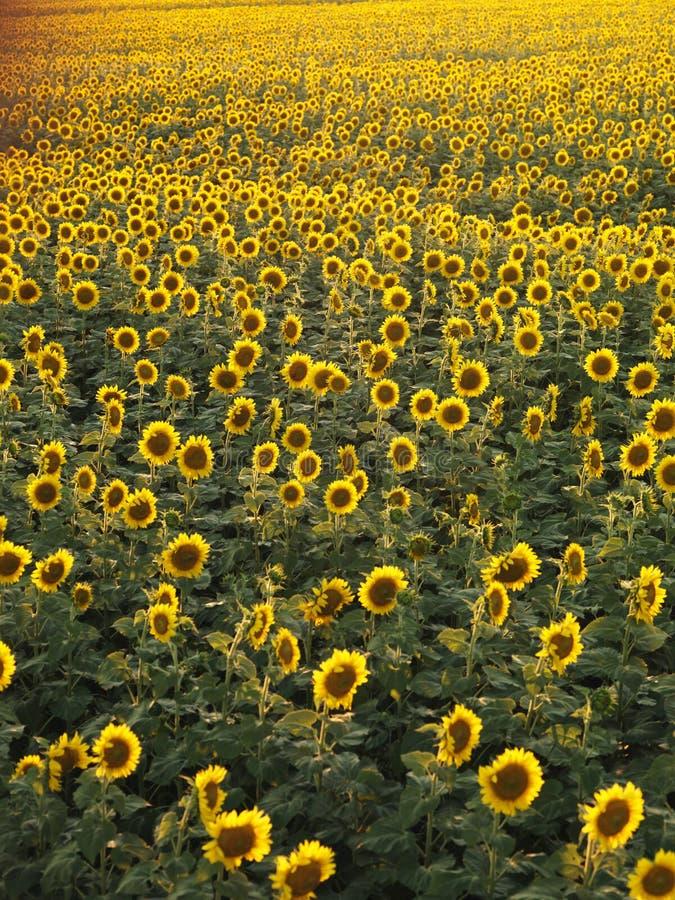 Het gebied van de zonnebloem. royalty-vrije stock afbeelding