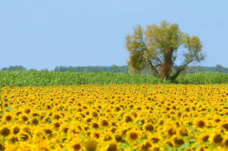 Het gebied van de zonnebloem, de Provence, Frankrijk, ondiepe nadruk stock afbeelding