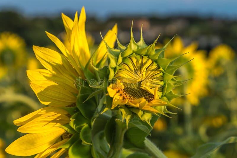 Het gebied van de zonnebloem De tijd van de zonsondergang royalty-vrije stock foto
