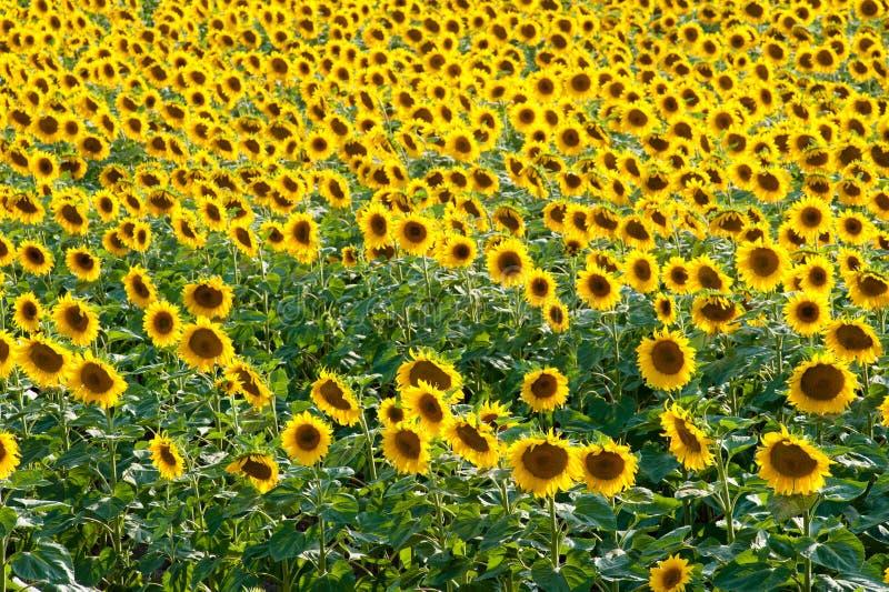 Het gebied van de zonnebloem in de zomer stock afbeelding
