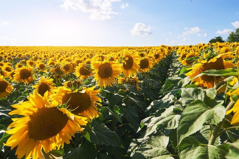 Het gebied van de zonnebloem met bewolkte blauwe hemel royalty-vrije stock fotografie