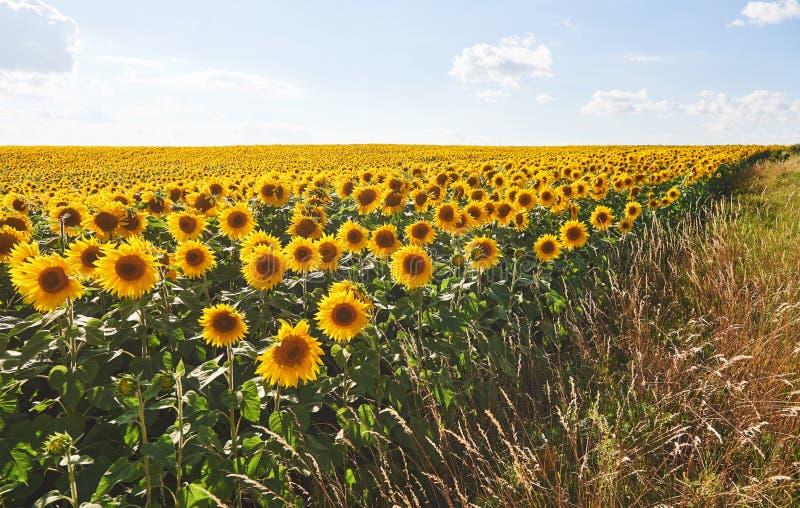 Het gebied van de zonnebloem met bewolkte blauwe hemel royalty-vrije stock foto's