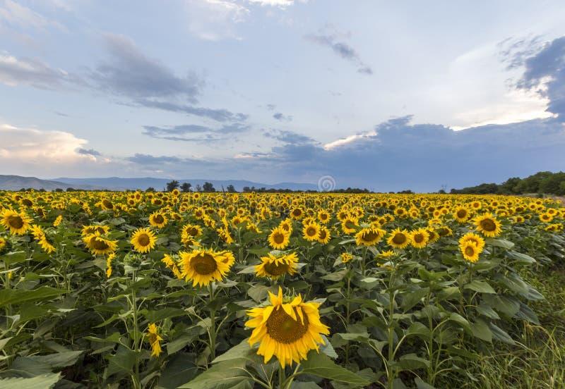 Het gebied van de zonnebloem met blauwe hemel stock afbeelding