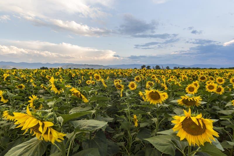 Het gebied van de zonnebloem met blauwe hemel stock fotografie