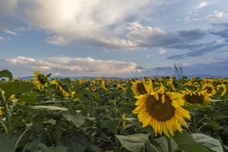 Het gebied van de zonnebloem met blauwe hemel royalty-vrije stock afbeeldingen