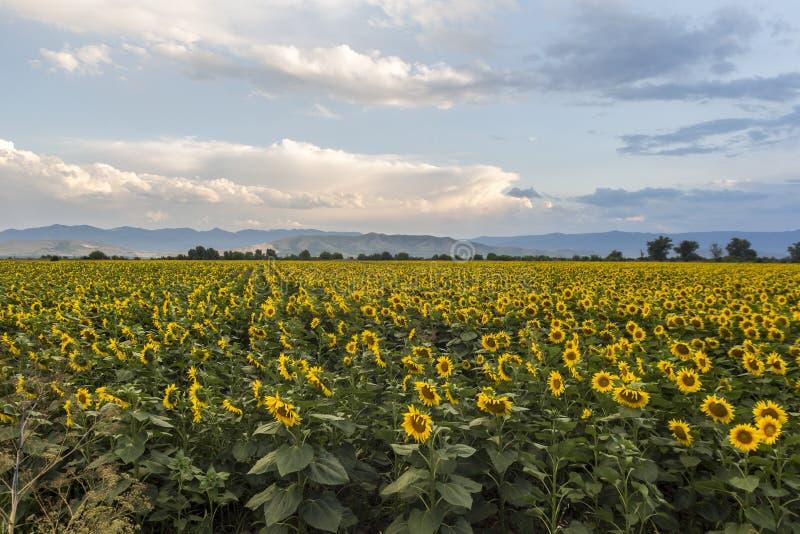 Het gebied van de zonnebloem met blauwe hemel royalty-vrije stock foto