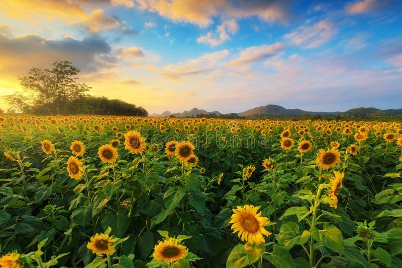 Het gebied van de zonnebloem met blauwe hemel royalty-vrije stock afbeelding