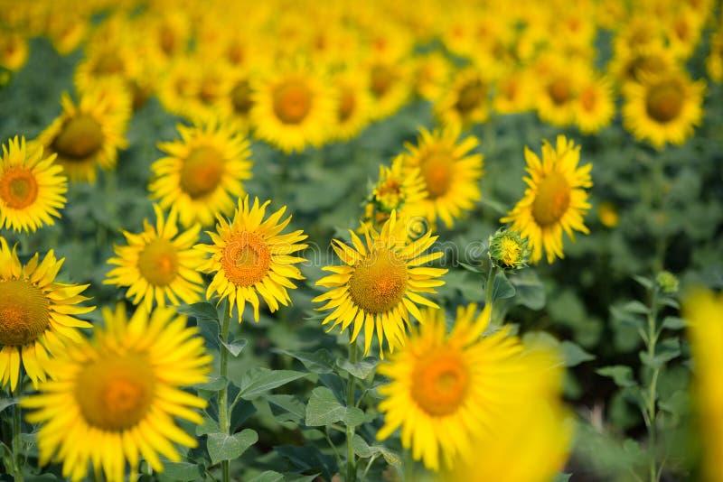 Het gebied van de zonnebloem Velen gele zonnebloem op een gebied royalty-vrije stock foto's