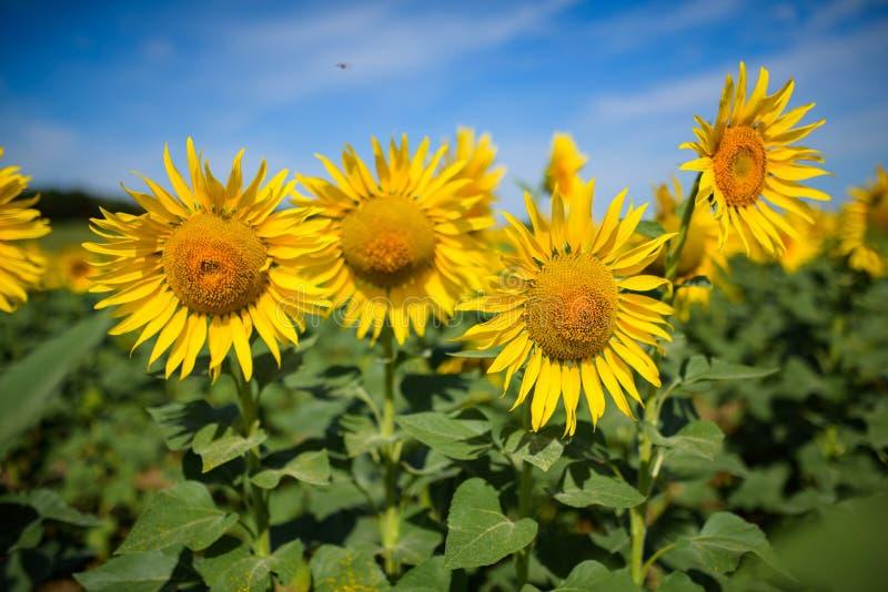 Het gebied van de zonnebloem Velen gele zonnebloem op een gebied royalty-vrije stock foto