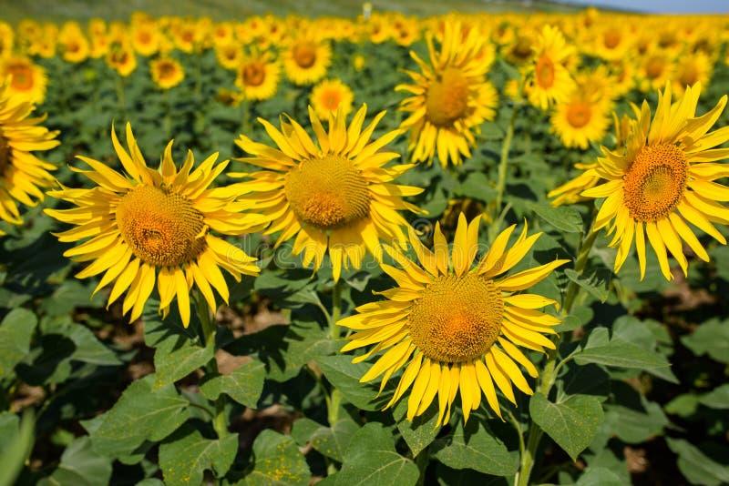 Het gebied van de zonnebloem Velen gele zonnebloem op een gebied royalty-vrije stock afbeelding