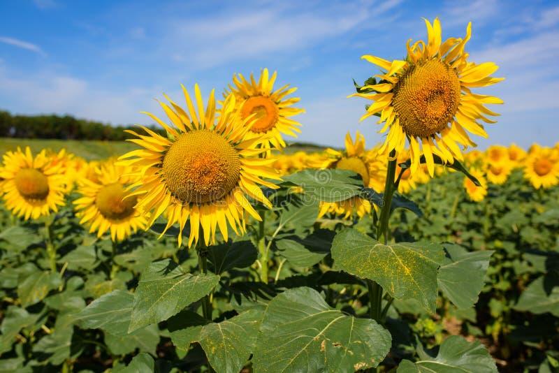 Het gebied van de zonnebloem Velen gele zonnebloem op een gebied stock foto's