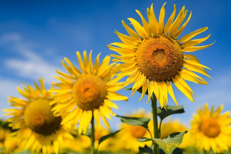 Het gebied van de zonnebloem Velen gele zonnebloem op een gebied royalty-vrije stock afbeeldingen