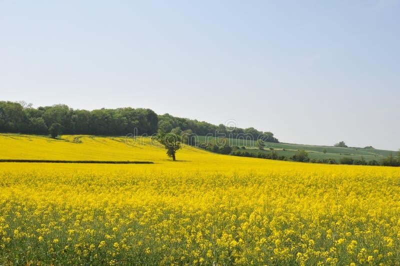 Het gebied van Dorset van raapzaad 1 stock foto