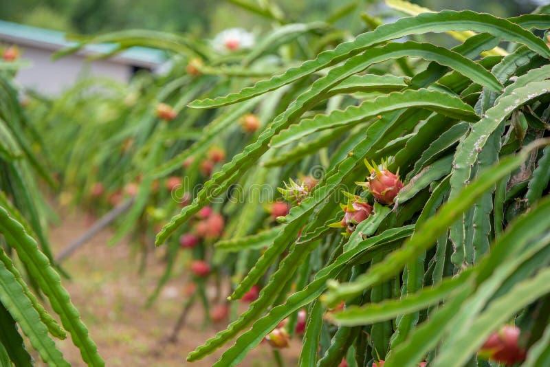 Het gebied van het draakfruit stock fotografie