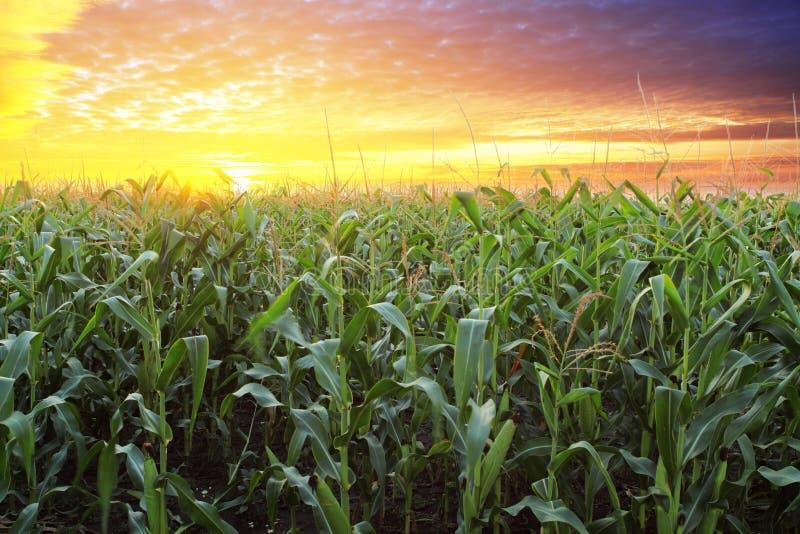 Het gebied van het graan bij zonsondergang royalty-vrije stock afbeelding