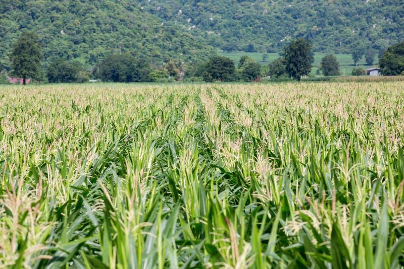 Het gebied van het graan op de berg stock foto