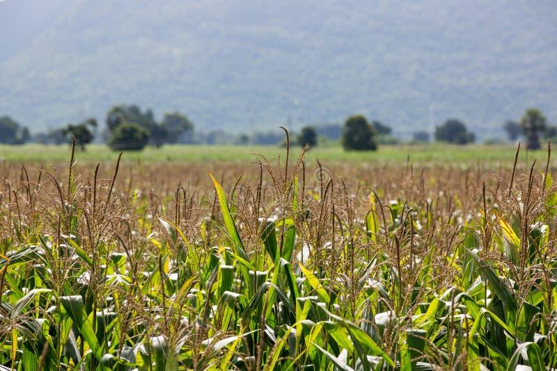 Het gebied van het graan op de berg royalty-vrije stock fotografie