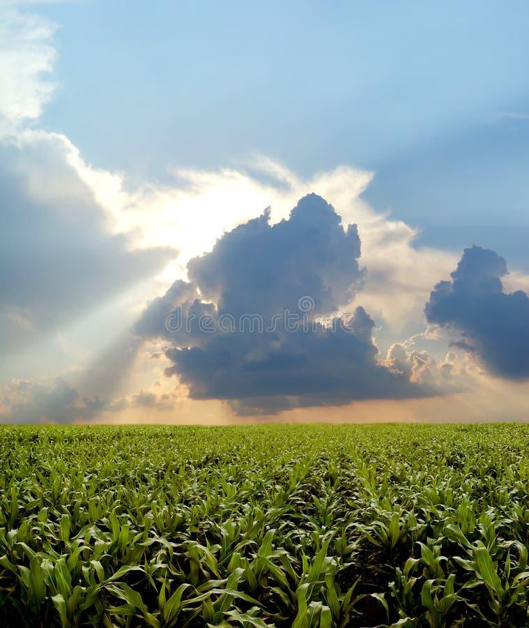 Het gebied van het graan tijdens stormachtige dag stock foto's