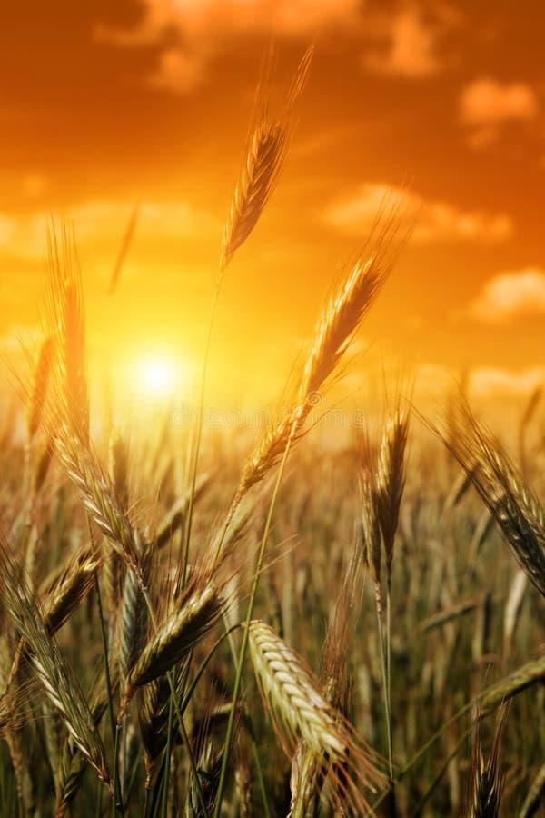 Het gebied van het graangewas bij zonsondergang. stock fotografie