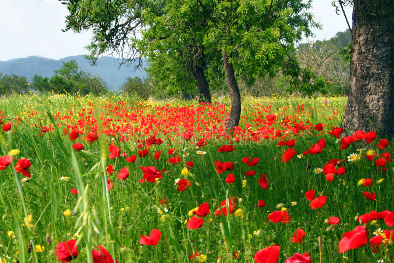 Het gebied van het land van papaverbloemen royalty-vrije stock afbeeldingen