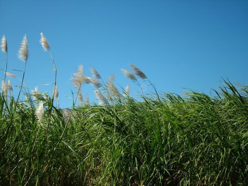 Het Gebied van het suikerriet stock foto's