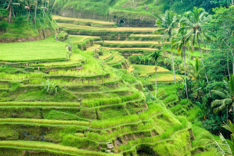 Het gebied van het Terras van de rijst, Ubud, Bali, Indonesië. stock foto