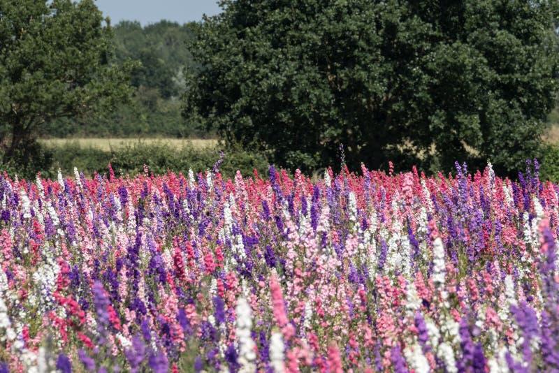 Het gebied van kleurrijk ridderspoor bloeit in Wiek, Pershore, Worcestershire, het UK De bloemblaadjes worden gebruikt om huwelij stock fotografie