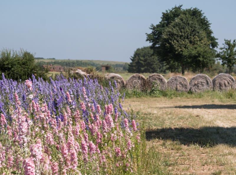 Het gebied van kleurrijk ridderspoor bloeit in Wiek, Pershore, Worcestershire, het UK De bloemblaadjes worden gebruikt om huwelij stock foto