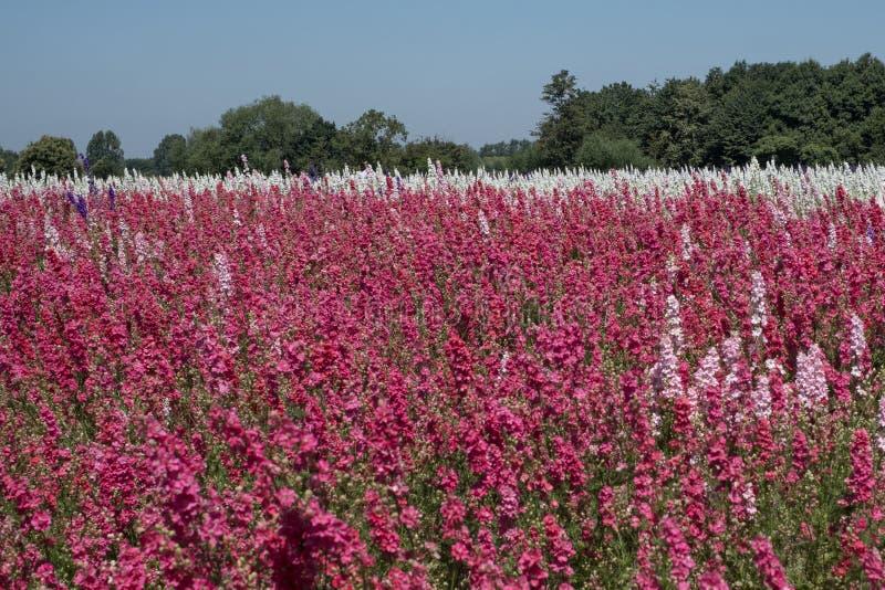 Het gebied van kleurrijk ridderspoor bloeit in Wiek, Pershore, Worcestershire, het UK De bloemblaadjes worden gebruikt om huwelij royalty-vrije stock afbeeldingen