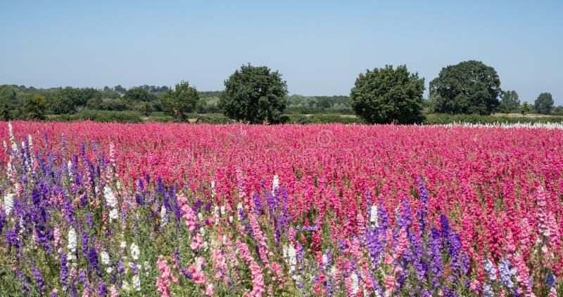 Het gebied van kleurrijk ridderspoor bloeit in Wiek, Pershore, Worcestershire, het UK De bloemblaadjes worden gebruikt om huwelij royalty-vrije stock afbeelding