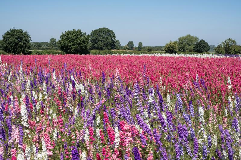 Het gebied van kleurrijk ridderspoor bloeit in Wiek, Pershore, Worcestershire, het UK De bloemblaadjes worden gebruikt om huwelij stock afbeeldingen
