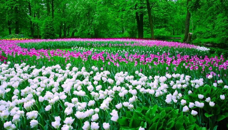 Het gebied van kleurrijke tulpen, plantte een spiraal van kleur in het Park stock foto