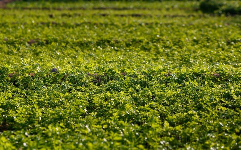 Het gebied van het korianderlandbouwbedrijf stock foto's