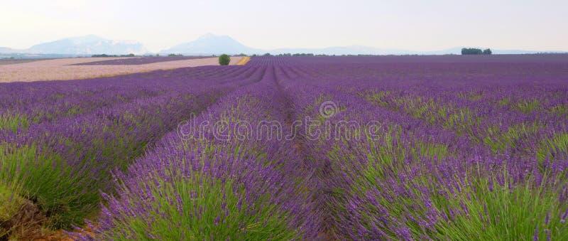 Het gebied van Lavander in de Provence royalty-vrije stock afbeelding