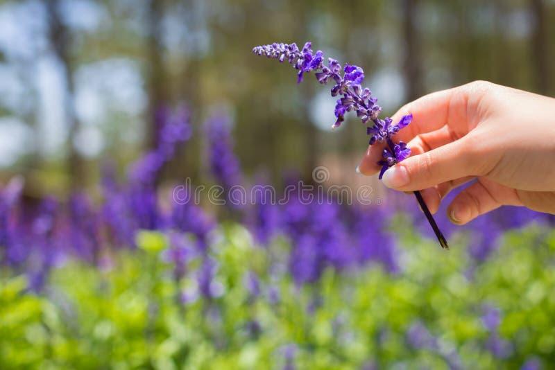 Het gebied van Lavendar Lavendarlandbouwbedrijf Vrouw die een purpere bloem op een gebied houden royalty-vrije stock fotografie