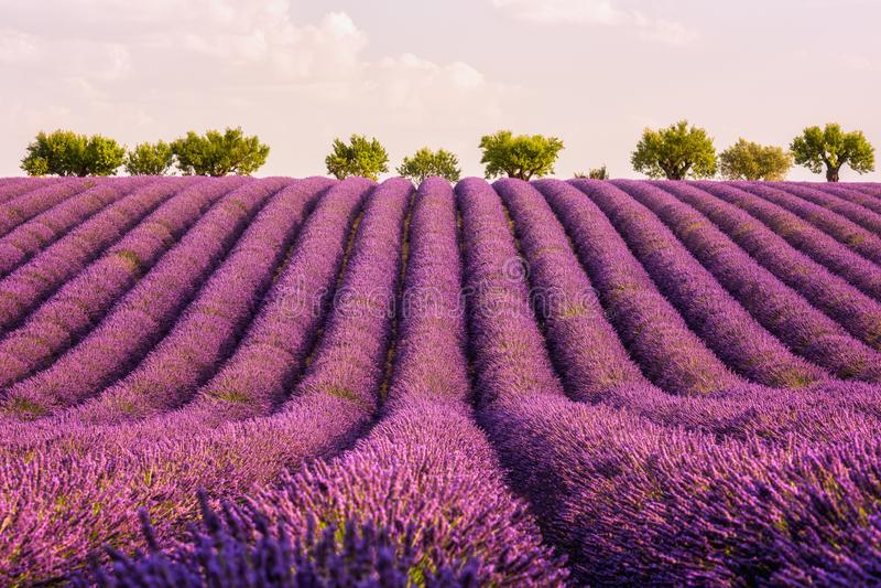 Het gebied van het lavendellandbouwbedrijf in de Provence in zacht licht, Plateau DE Valensole, Frankrijk stock foto's