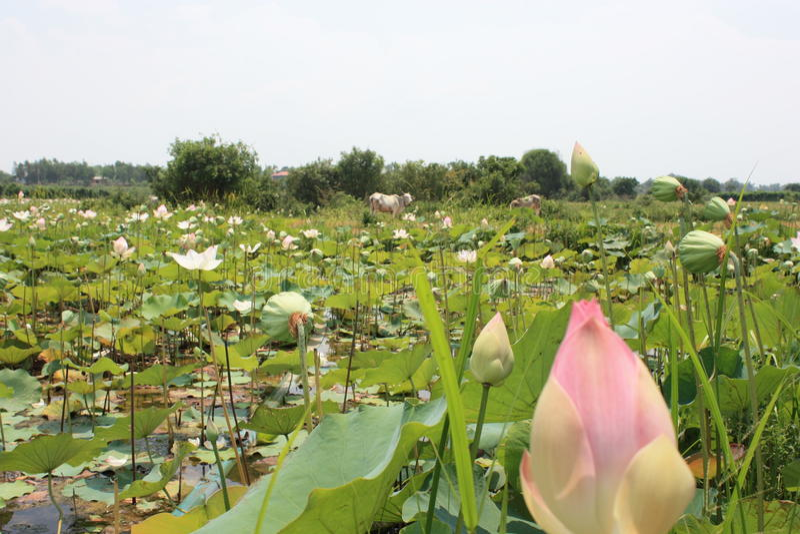 Het gebied van Lotus royalty-vrije stock fotografie