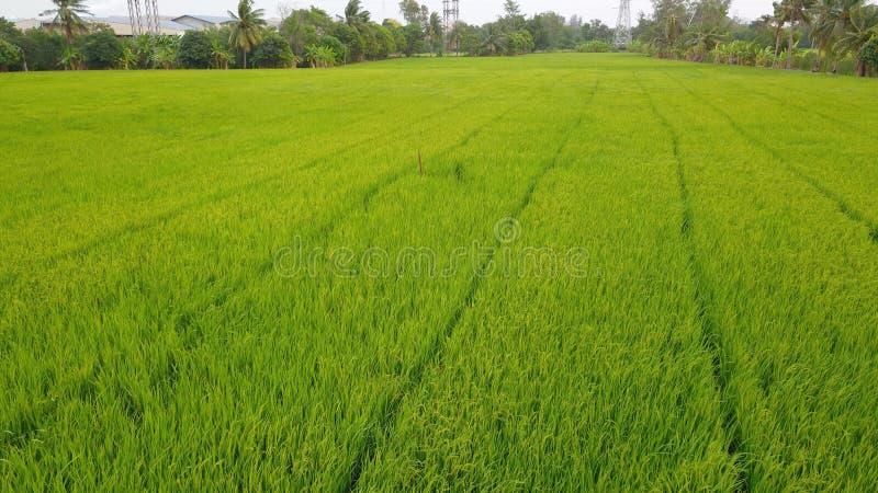 Het gebied van het rijstlandbouwbedrijf dat mooie groene kleur van rijstinstallatie royalty-vrije stock afbeelding