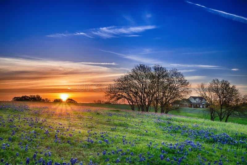 Het gebied van Texas bluebonnet bij zonsopgang stock foto