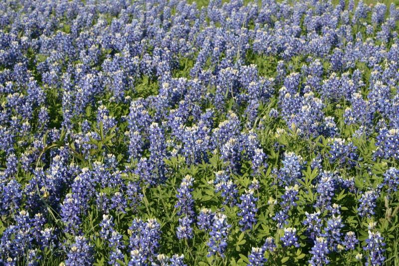 Het gebied van Texas van bluebonnets stock foto's
